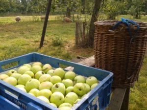 Oogst van de Yellow appel